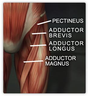 The adductors (inner thigh) are made of the adductor brevis(brevis is Latin for short), adductor longus(longus is Latin for long) and adductor magnus(Latin for large!) .The adductors all originate on the pubis and insert on the medial, posterior surface of the femur(tulang paha). (there some anat. knowledge for ya)