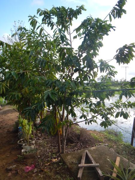 In case you wonder what a 'durian belanda' (soursop) tree looks like