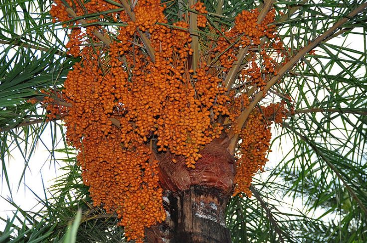 A date palm loaded with dates !! Photo from http://commons.wikimedia.org/