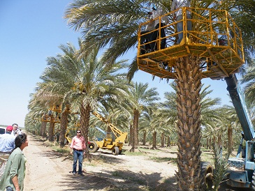 View at a Mexican date palm plantation. Photo from http://davereilly.blogspot.com/