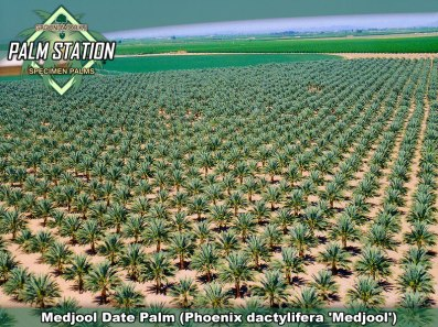 A medjool date palm in United States. Florida, Nevada and California are known to cultivate date palms. Groundworks for example specializes in Canary Island date palm, Medjool date palm and Zahidi date palm.